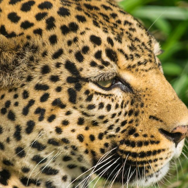 """Leopard's Eye"" stock image"