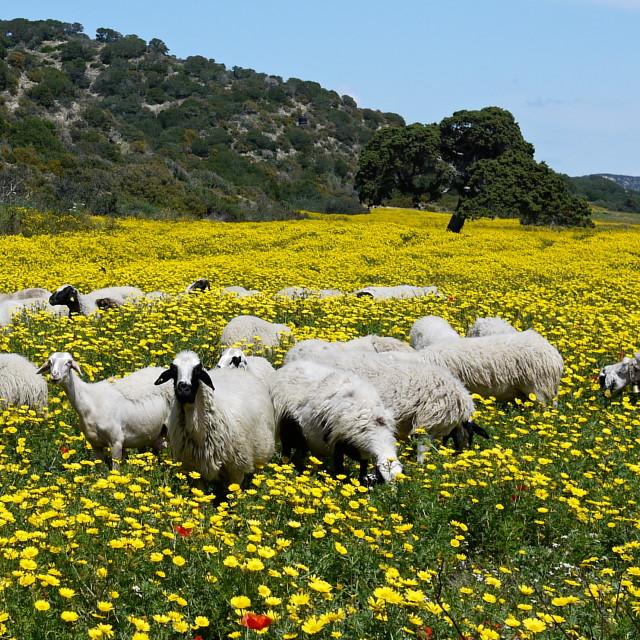 """sheeps"" stock image"