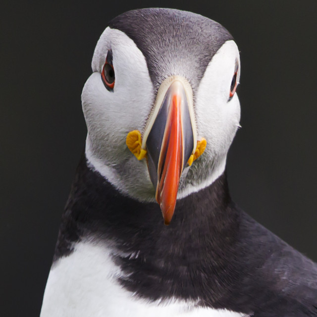 """Puffin Portrait"" stock image"
