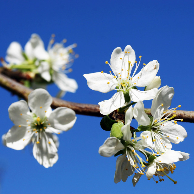 """Plum tree blossom"" stock image"