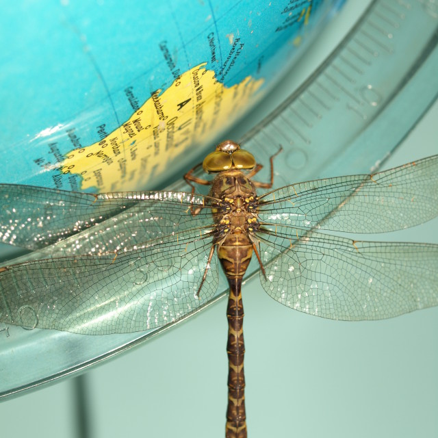 """""""Dragonfly on a world globe"""" stock image"""