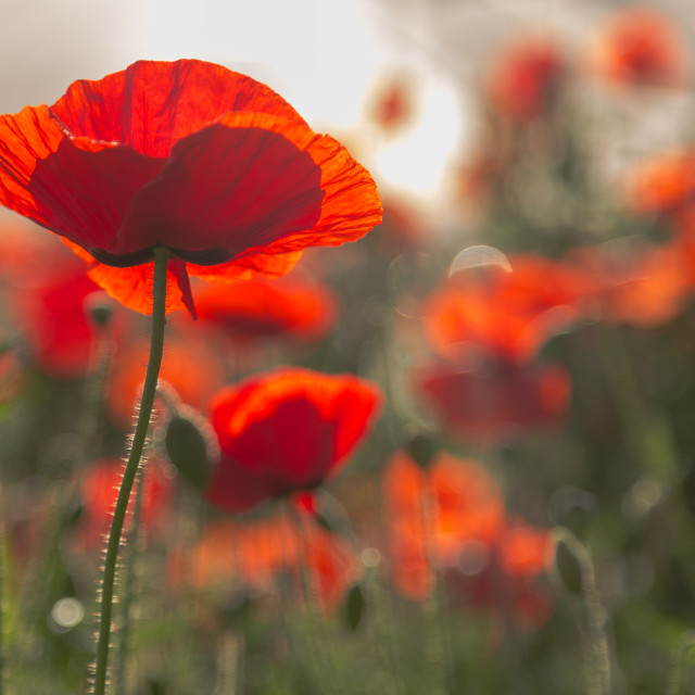 """Poppy Dawn"" stock image"