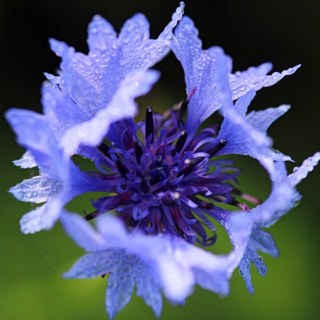 """Cornflower in the morning"" stock image"