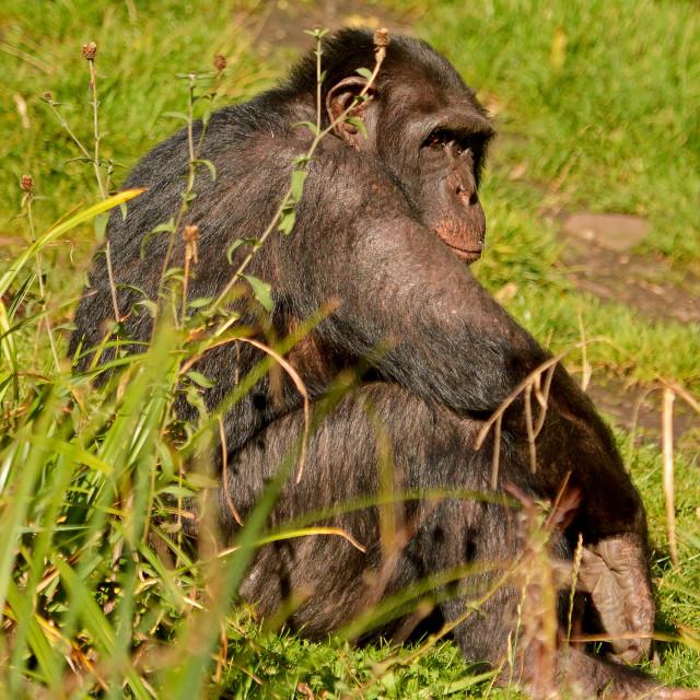 """Chimpanzee taking it easy"" stock image"