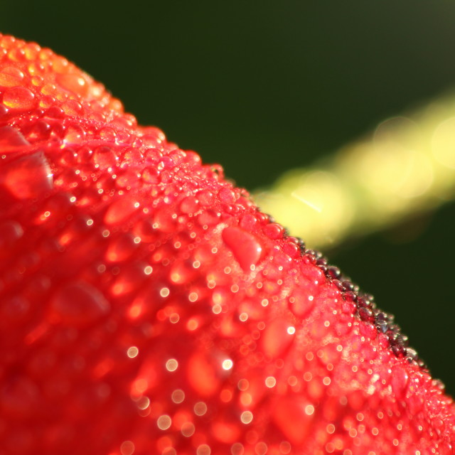 """Poppy dew-drops"" stock image"