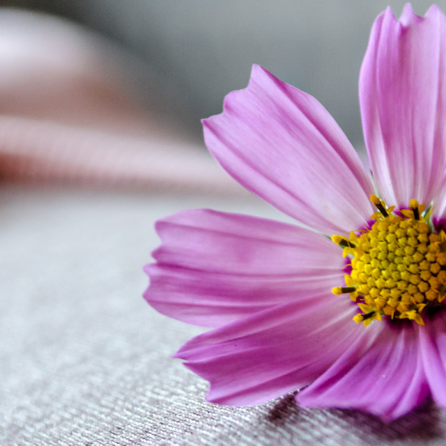 """""""Daisy on Belly"""" stock image"""