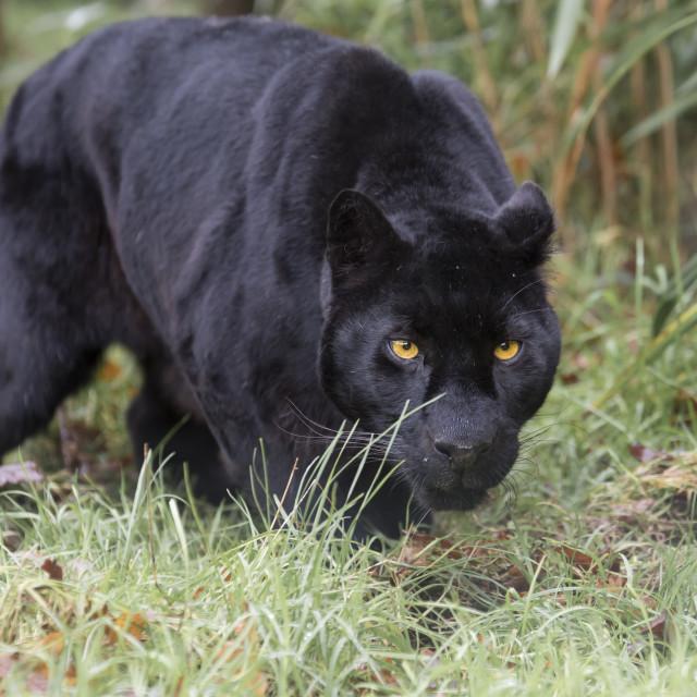 """Black Jaguar"" stock image"