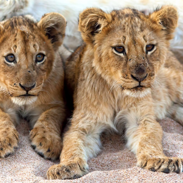 """Two Lion Cubs"" stock image"