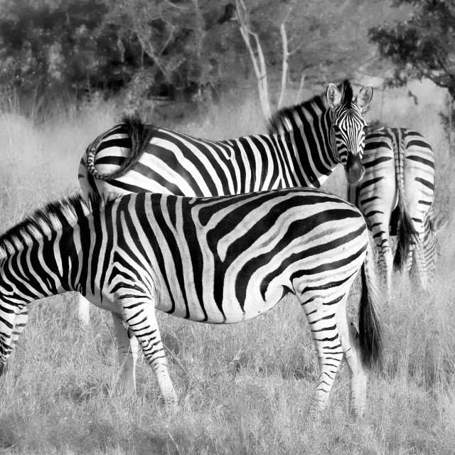 """Three Zebra"" stock image"