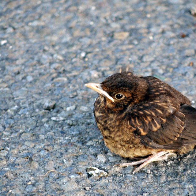 """Baby thrush on gravel path"" stock image"