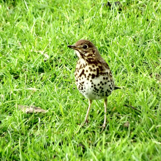 """Song thrush"" stock image"