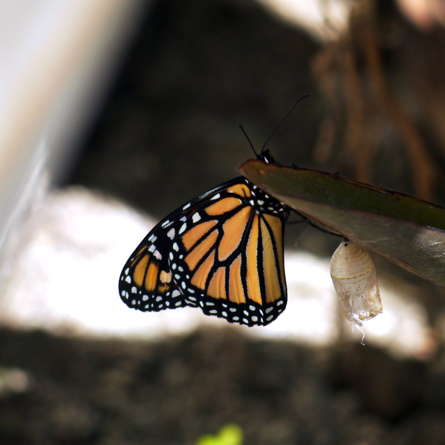 """A Monarch butterfly"" stock image"