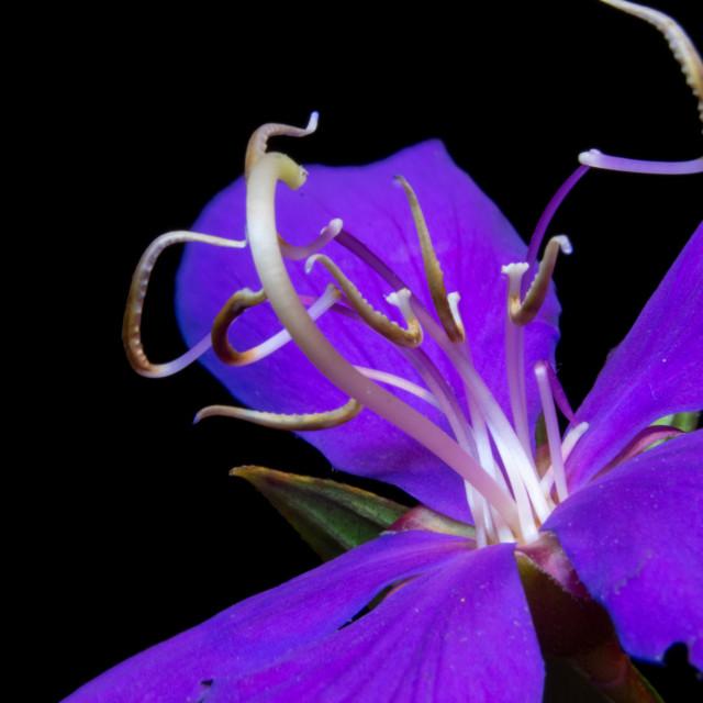 """""""Purple Tibouchina"""" stock image"""