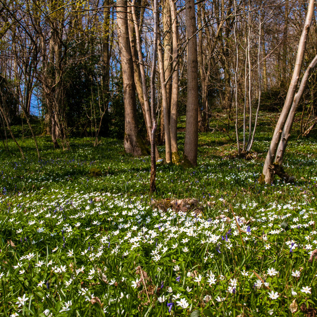 """""""Wood Anemone's in spring"""" stock image"""