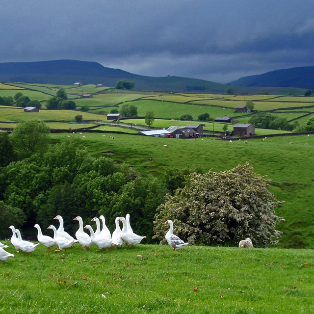 """""""Flock of Geese"""" stock image"""