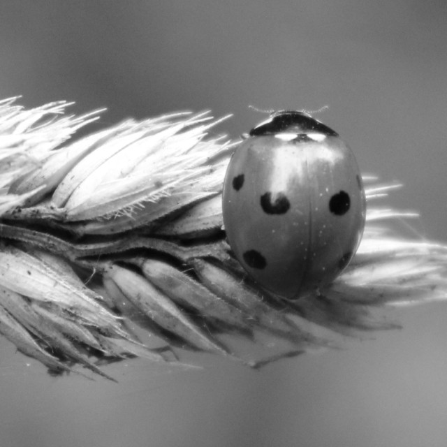 """Ladybird on grass"" stock image"