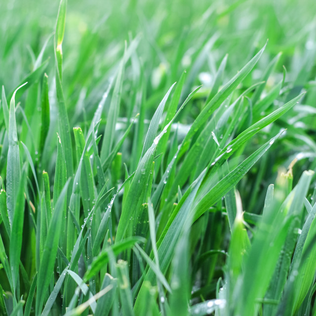 """Fresh green grass with water dreps"" stock image"