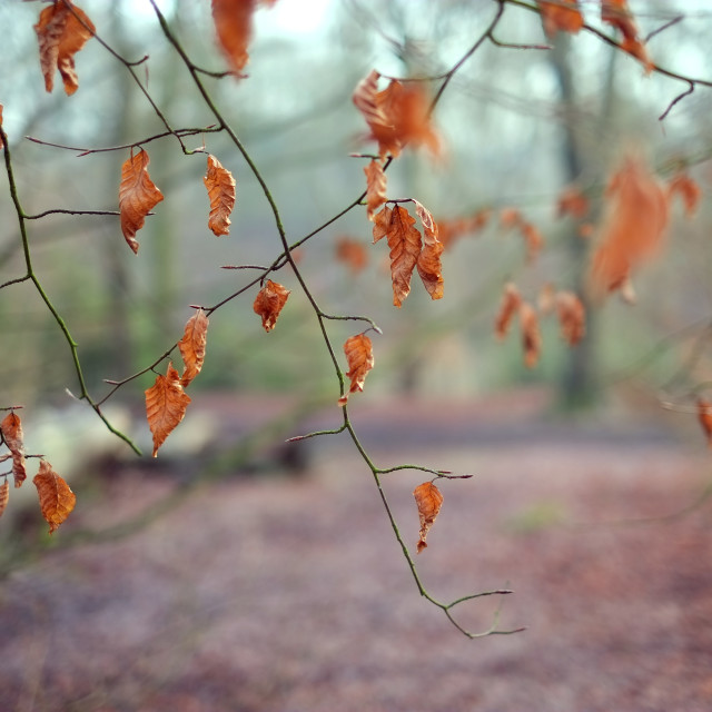 """Autumnal Woodland"" stock image"