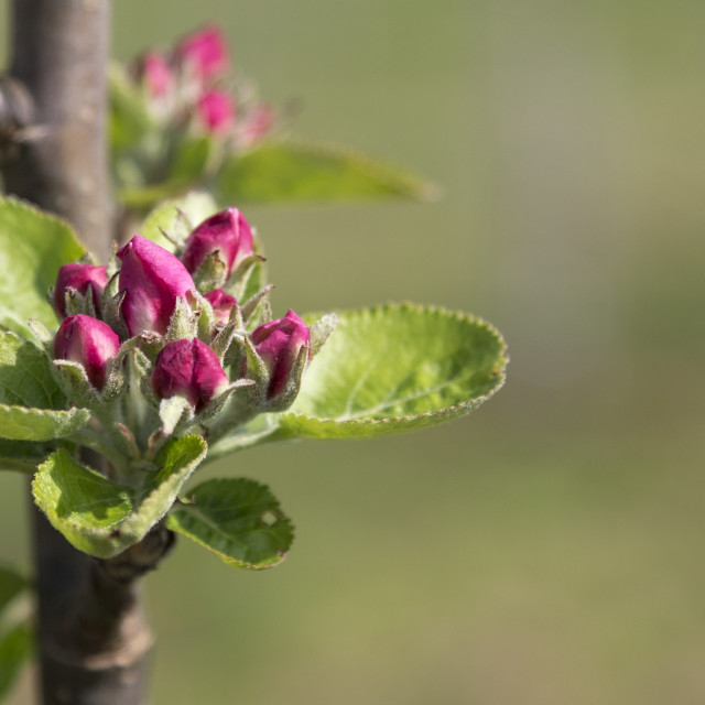 """Apple blossom"" stock image"