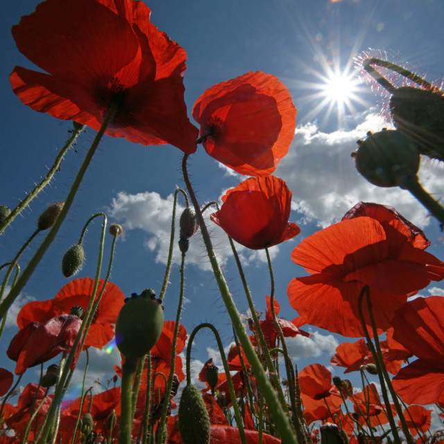 """Poppies"" stock image"