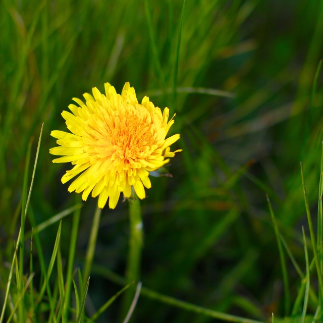 """""""Natural Yellow Dandelion in Spring"""" stock image"""