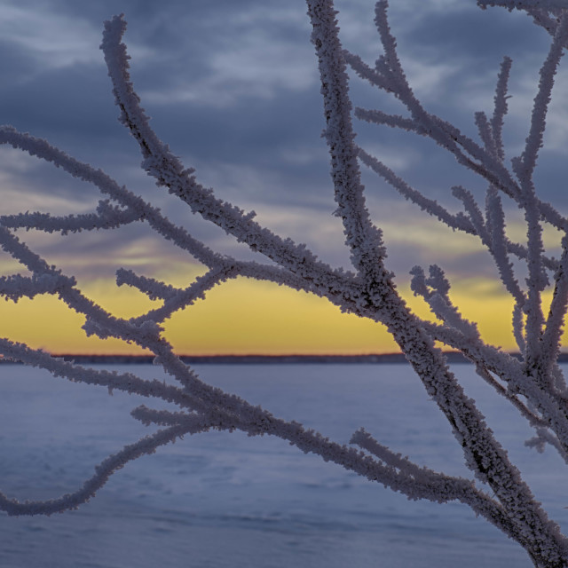"""Frost covered branches"" stock image"