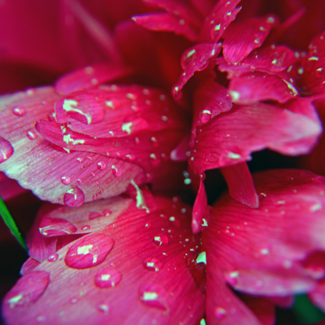 """Flower after the rain"" stock image"