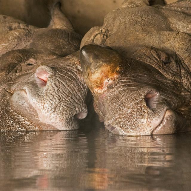 """Rhinos in love"" stock image"