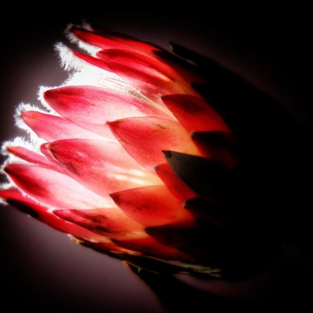 """""""Protea silhouette"""" stock image"""
