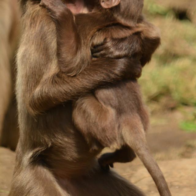 """Gelda Baboon and infant"" stock image"