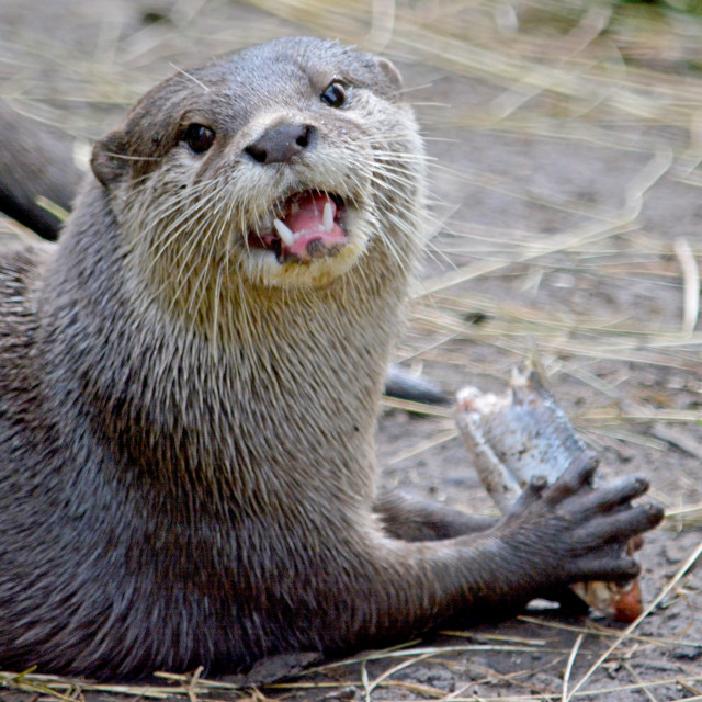 """""""Short clawed otter"""" stock image"""