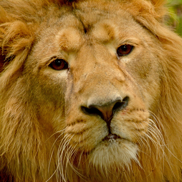 """Asian Lion"" stock image"