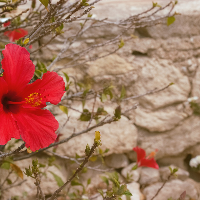 """Red Hibiscus"" stock image"