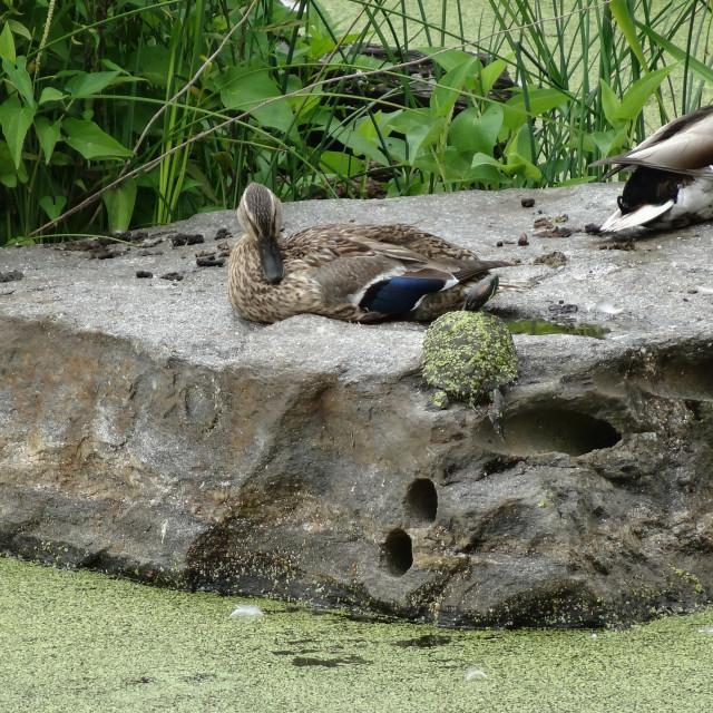 """""""Quack Quack"""" stock image"""