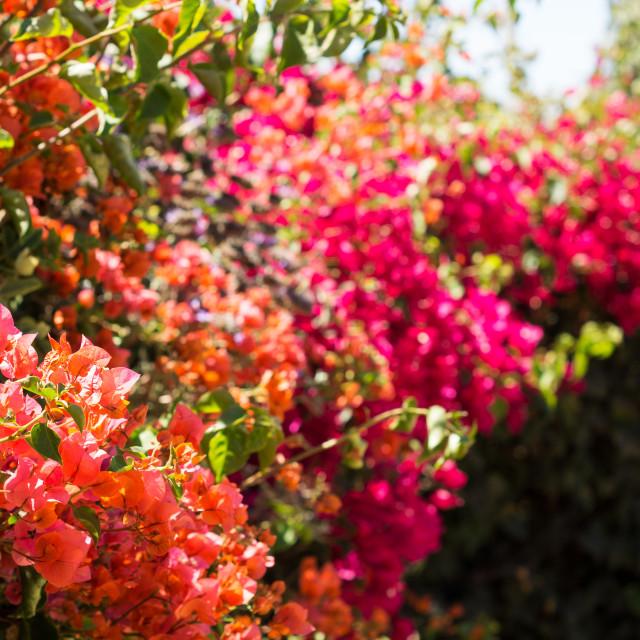 """Santa Barbara Flowers"" stock image"
