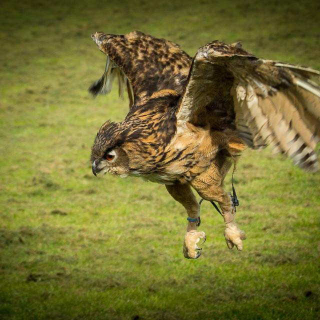 """Owl landing on it's prey"" stock image"