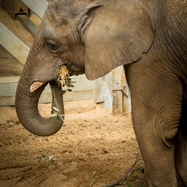 """Asian Elephant"" stock image"