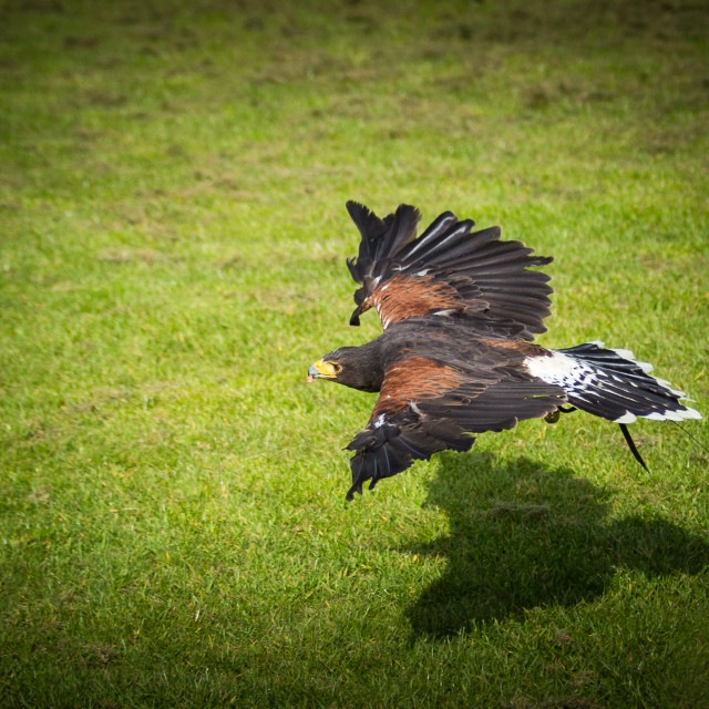 """Harris Hawk hunting"" stock image"