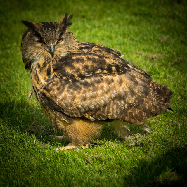 """Long eared owl"" stock image"