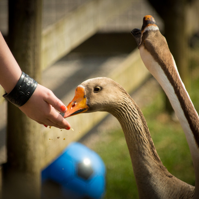 """Hand feed the geese"" stock image"