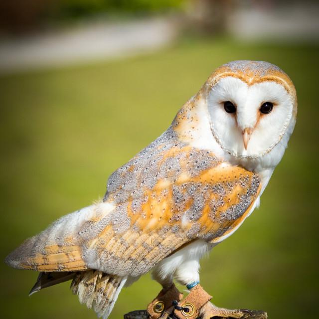 """Barn Owl Alert"" stock image"