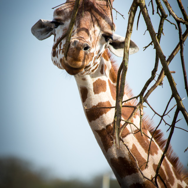 """Giraffe Munching"" stock image"