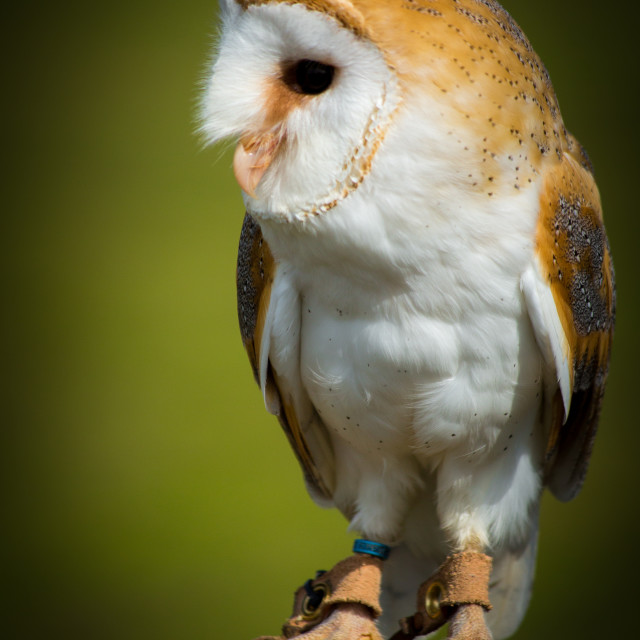 """Barn Owl Watching"" stock image"