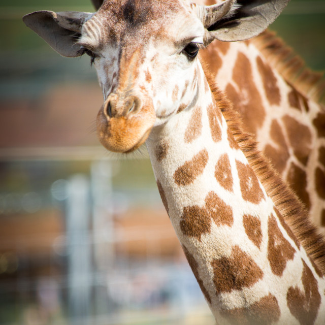 """baby Giraffe Looking at You"" stock image"