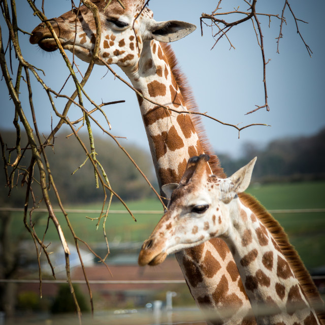 """Baby Giraffe & Mother"" stock image"
