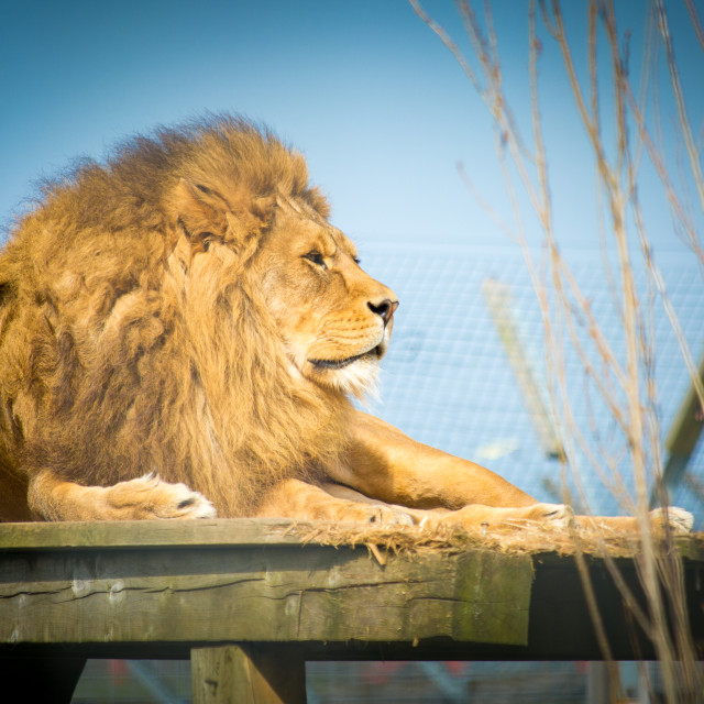 """Male Lion at rest"" stock image"