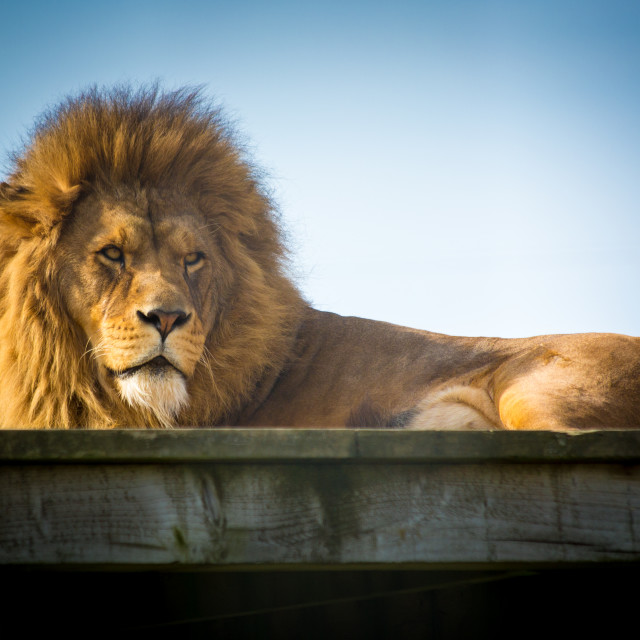 """Male Lion Watching"" stock image"