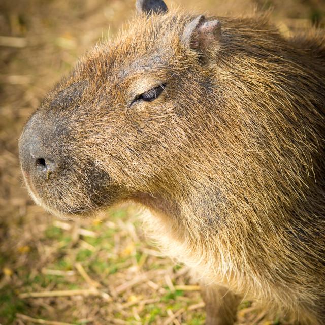 """Capybara"" stock image"