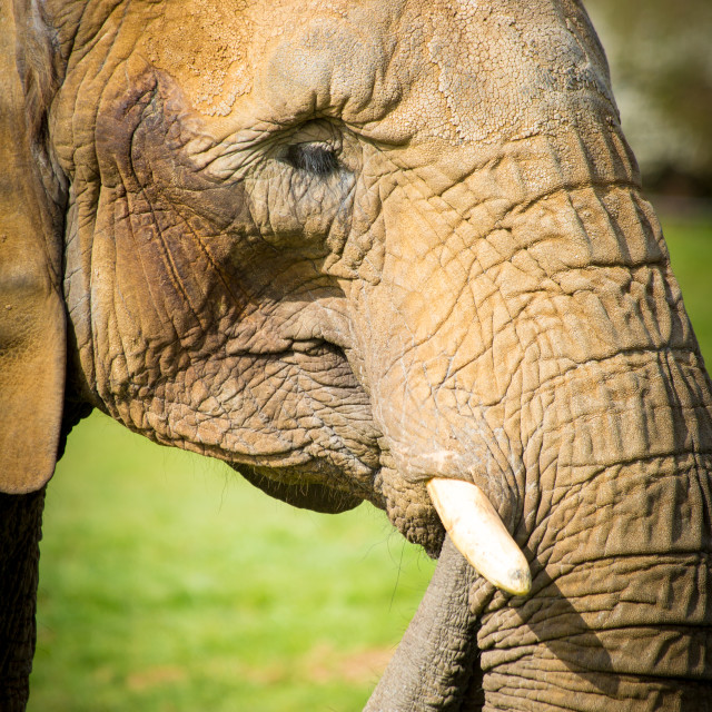 """African Elephant face"" stock image"