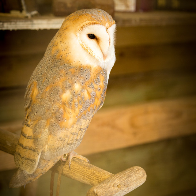 """Barn owl in its barn"" stock image"